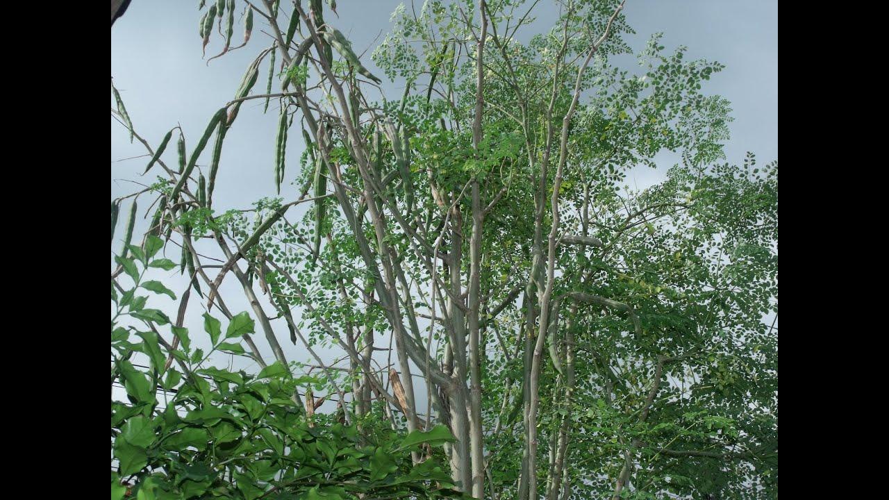 moringa oleifera as dandruff remover Grenera raw moringa powder  acne dandruff eczema hair loss scars skin hair & nails  moringa oleifera is the best known of the thirteen species of the genus.