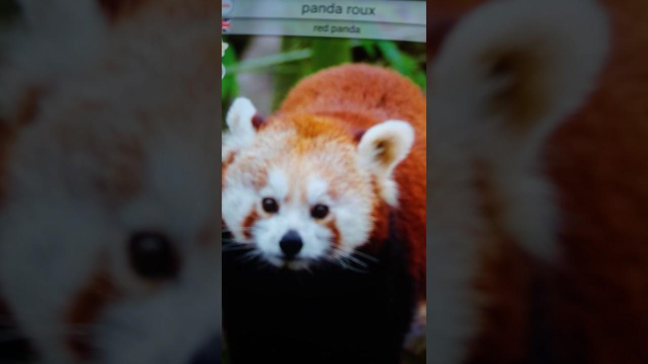 Bruit Du Panda Roux Red Panda Sound Youtube