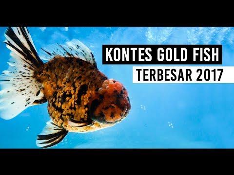 Kontes Ikan Mas Koki Terbesar Nusatic 2017   The Biggest Gold Fish Contest