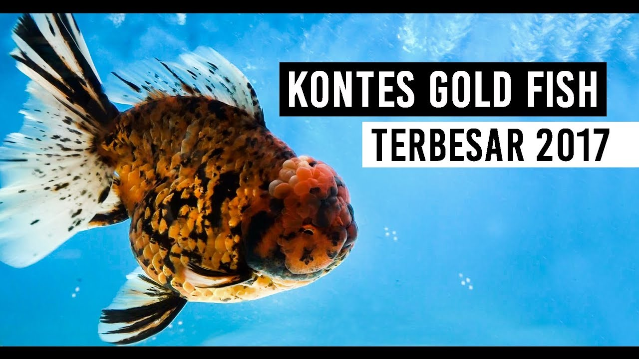 Kontes Ikan Mas Koki Terbesar Nusatic 2017 The Biggest Gold Fish Contest Youtube