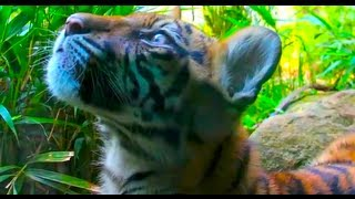 Cute Sumatran Tiger Cub video - Critically Endangered Species
