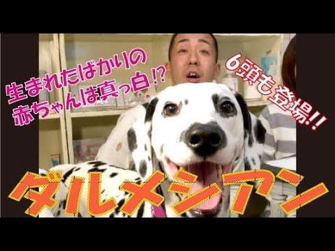 【101ワンちゃん犬】珍しい色のタイプも!! ダルメシアン大集合SP