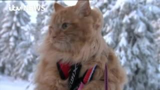 Meet Jesper - the skiing cat