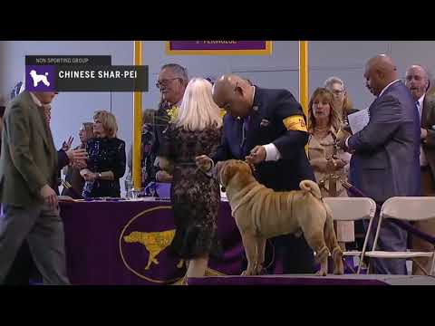 Chinese Shar Pei | Breed Judging 2019