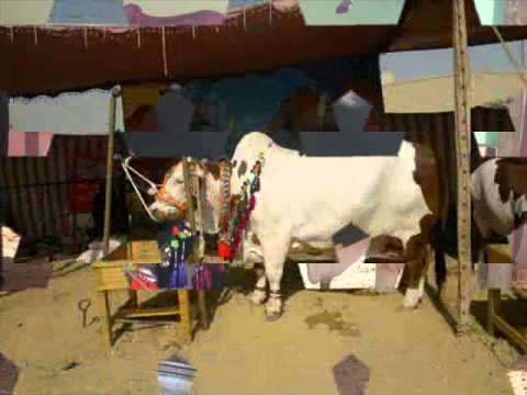 AMAZING: AMAZING PAKISTANI MANDI FOR QURBANI