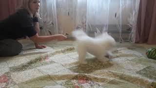Зовут Григ - щенок Бишон Фризе 3 мес