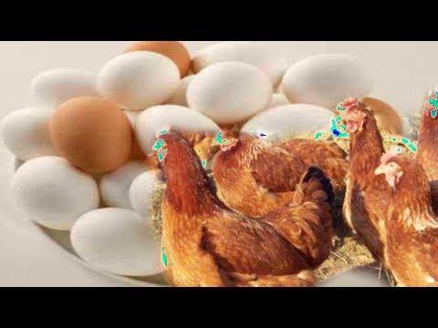 মুরগির ডিম খাওয়া বন্ধ করণ পদ্ধতি || The Method Of Stopping Eating Chicken Eggs ||