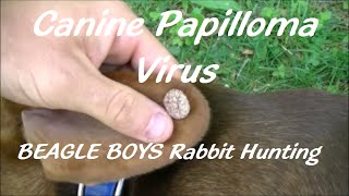 Canine Papilloma Virus - (2015)beagle Boys Rabbit Hunting