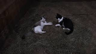 Kittens Play Fight 1 (1/4/2019)