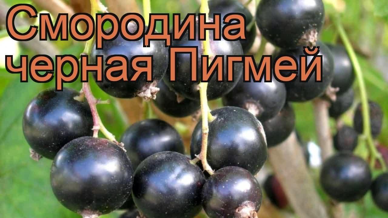 Смородина Валовая - Семена и саженцы купить по лучшим ценам - YouTube