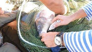 Ловля крупного карпа на бойлы . Рыбалка в Украине.   фильм 2