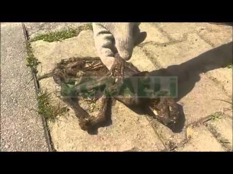 Kocaeli İzmit'te dinozora benzeyen hayvan bulundu