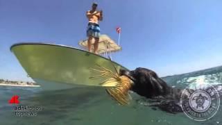 Il labrador che & 39 pesca& 39 le aragoste