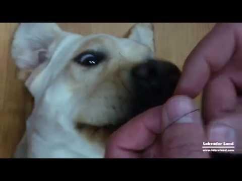 Как достать клеща у собаки в домашних условиях