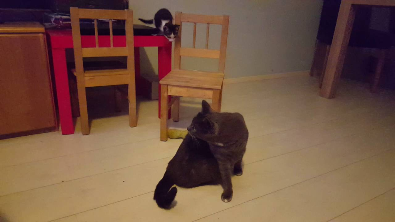 Baby cat fails to attack big cat. Twinky is so funny