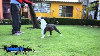 Bull Terriers Mexico