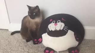 Коты - это наше и ваше всё. =^..^= СИАМСКИЕ КОШКИ