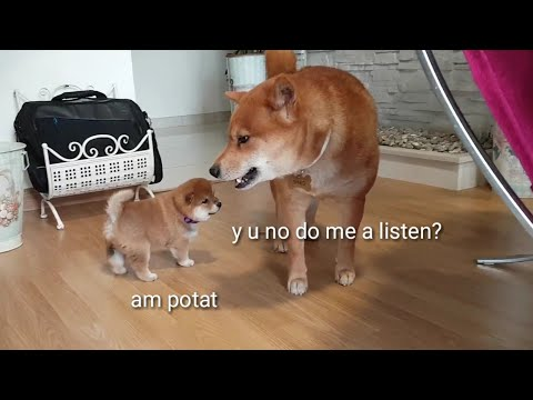 AMGERY daddo - the return Ep07 (i) / Shiba Inu puppies (with captions)