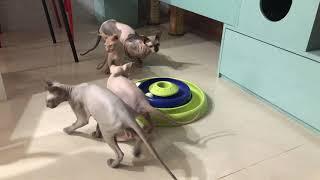 2019/01 Sphynx Kittens 加拿大無毛貓 玩耍