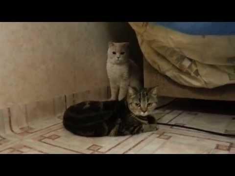 Вязка британских кошек Британские котята, британские