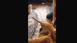 Аттракцион для кошки