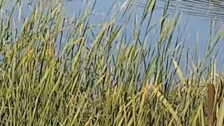 Охота на утку без собаки и лодки. Заплыв.  Село Любичи.