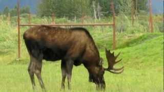 Alaska Moose, 8/24/2012, 駝鹿