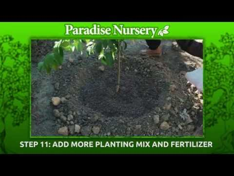 How To Plant A Fruit Tree 15 Gallon Pot Youtube