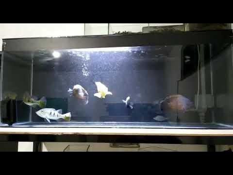 Ikan Oscar Begron Hitam Youtube