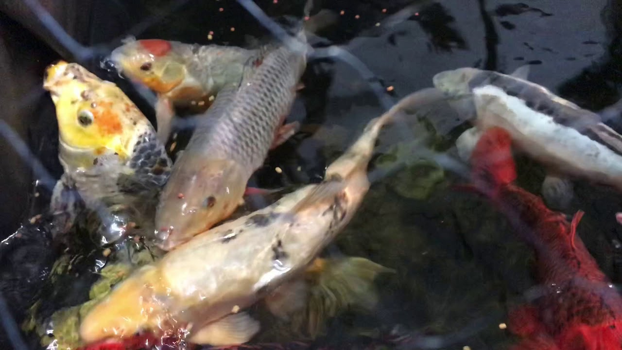 Frozen winter koi pond and diy indoor koi holding pen for Koi holding pool