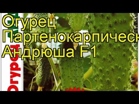 Огурец партенокарпический Андрюша F1. Краткий обзор, описание cucumis sativus Andriusha F1
