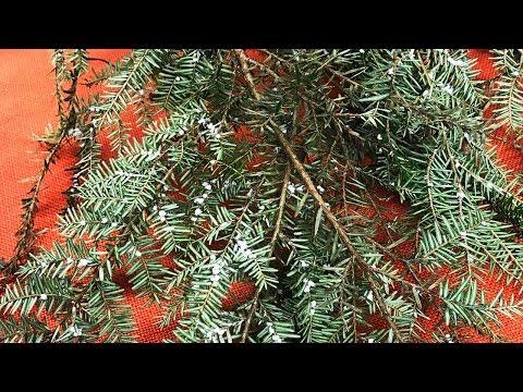 Making It Grow - Hemlock Woolly Adelgid