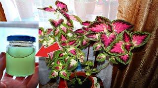 Домашние растения цветут как в сказке после этого удобрения!Вода из аквариума заменила все удобрения