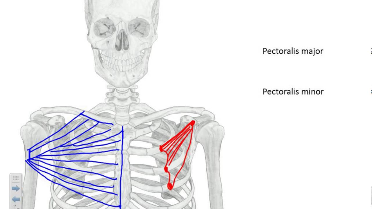 pectoral region