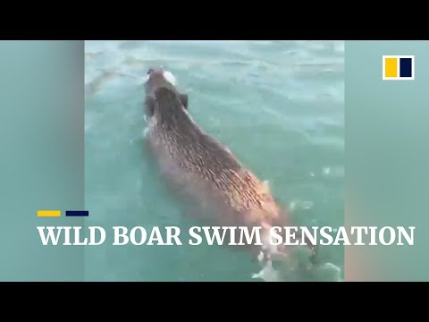 Wild boar swim sensation in Hong Kong
