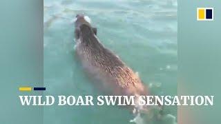Wild boar swim sensation in Hong Kong
