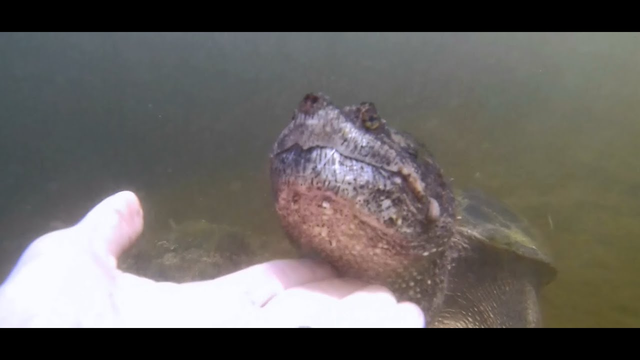 how to get rid of snapping turtles