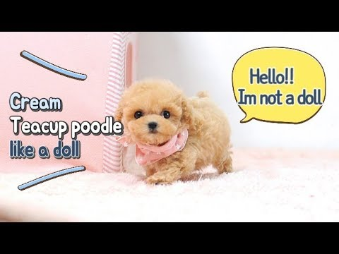 Toypoodle cream poodle teacup poodle puppy - Teacup puppies KimsKennelUS