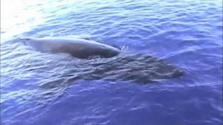 Humpback Whale Maui Up Close & Personal