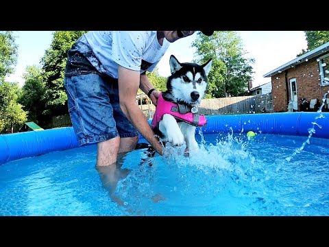 Kira the Husky Puppy Learning to Swim
