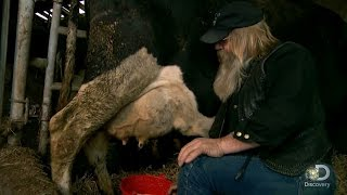 Tony Beets Milking Cows | Gold Rush