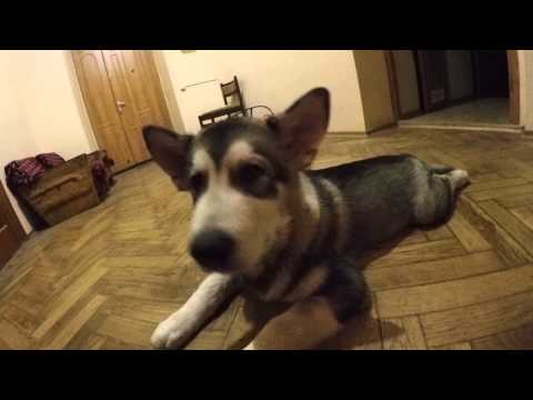 Щенок маламут Майк нашкодил дома пока был один/ Malamute puppy alone at home