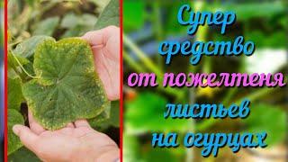 Желтеют листья огурцов Простое народное средство от пожелтения листьев на огурцах Проверенно годами