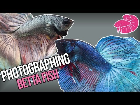 Photographing Betta Fish - How I Take Pictures Of Fish