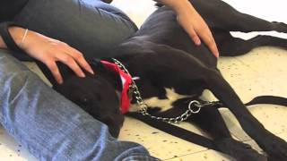 Tess The Lab/american Bulldog Mix