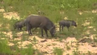 Guziec i młode -dzika przyroda Afryki ,, Safari