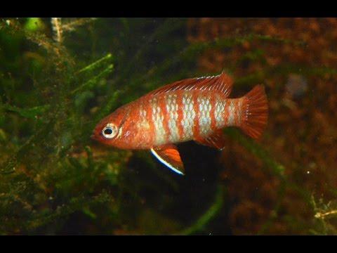 Scarlet badis, Dario darioSpecies Spotlight