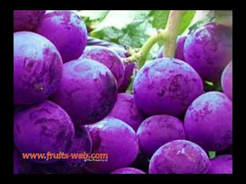 Are Seedless Grapes Genetically Modified