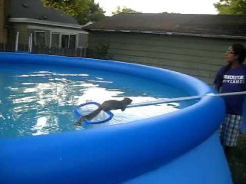 Swimming Red Squirrel Doovi