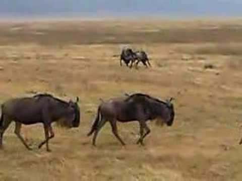 wildebeest butting heads at ngorogoro crater